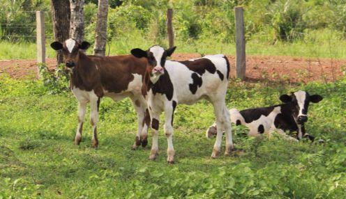 Mais de 600 vacas são protocoladas e inseminadas pelo Programa de Melhoramento Genético em Vila Rica
