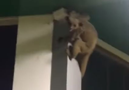 Macaco-da-noite é flagrado fugindo de cachorros em supermercado de Confresa; veja vídeo