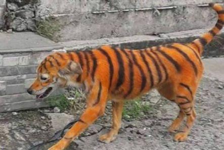 Cachorro é pintado de laranja e preto para parecer um tigre