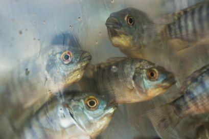 Canarana é um dos cinco maiores produtores de peixe do Mato grosso