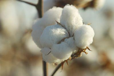 Atraso no plantio da soja faz área com algodão cair mais de 6% no Araguaia/Xingu