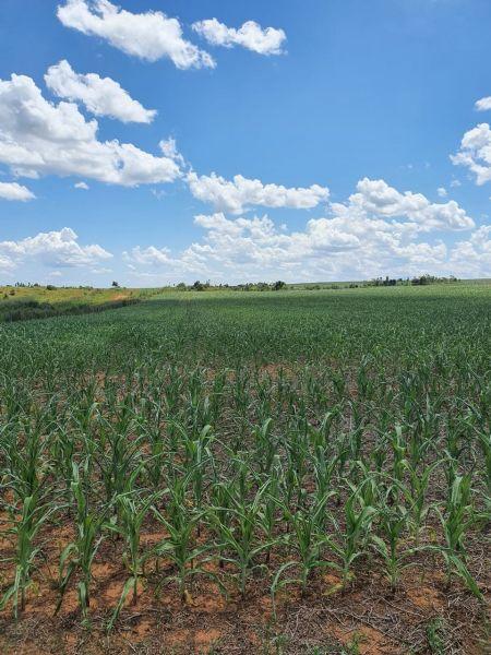 Safrinha de milho no Araguaia é prejudicada pela falta de chuvas