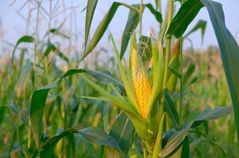 De Vila Rica a Barra do Garças há condições climáticas favoráveis para a safrinha do milho nas próximas semanas