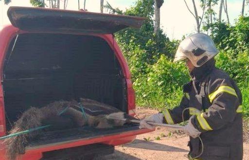 Bombeiros de Confresa resgatam tamanduá-bandeira localizado em local de risco