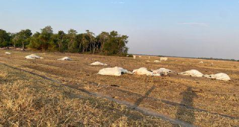 Produtor perde 18 cabeças de gado após fio de energia atingir animais na zona rural de Querência